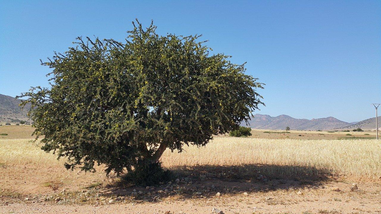 モロッコのアルガンの木です
